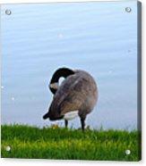 Goose #1 Pose Acrylic Print