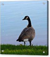 Goose #2 Pose Acrylic Print