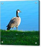 Goose #3 Pose Acrylic Print