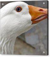 Goose Close Up Acrylic Print