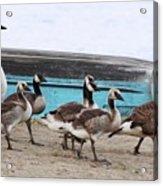 Goose Crossing Mayville Park Acrylic Print