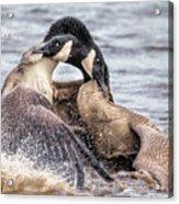 Goose Epic Battle Acrylic Print