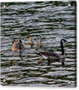 Goose Family Acrylic Print
