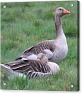 Goose Lookout Acrylic Print