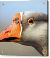 Goose Portrait Acrylic Print