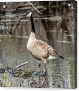 Goose Posing Acrylic Print