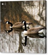 Goose Reflection Acrylic Print