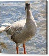 Goosey Goosey Gander... Acrylic Print