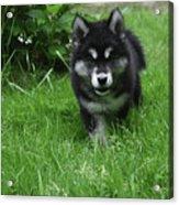 Gorgeous Alusky Puppy Dog Creeping Through Grass Acrylic Print