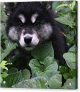 Gorgeous Alusky Puppy Playing Hide And Seek  Acrylic Print