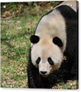 Gorgeous Black And White Giant Panda Bear Walking Acrylic Print