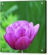 Gorgeous Blooming And Flowering Dark Pink Parrot Tulip Acrylic Print