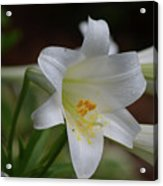 Gorgeous Blooming White Lily With Yellow Pollen On It's Stamen Acrylic Print