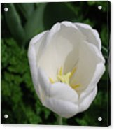 Gorgeous Blooming White Tulip Flower Blossom In Spring Acrylic Print