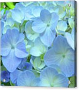 Gorgeous Blue Colorful Floral Art Hydrangea Flowers Baslee Troutman Acrylic Print