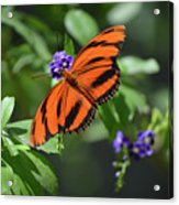 Gorgeous Close Up Of An Oak Tiger Butterfly In Nature Acrylic Print