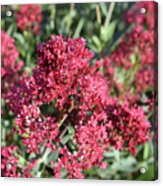 Gorgeous Cluster Of Red Phlox Flowers In A Garden Acrylic Print