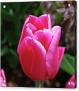 Gorgeous Dark Pink Tulip Blooming In A Garden Acrylic Print