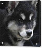 Gorgeous Eight Week Old Alusky Puppy Dog Acrylic Print