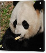 Gorgeous Face Of A Giant Panda Bear With Bamboo Acrylic Print