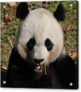 Gorgeous Face Of A Panda Bear Eating Bamboo Acrylic Print