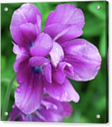 Gorgeous Flowering Purple Tulip Flower Blossoms In A Garden Acrylic Print