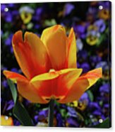 Gorgeous Flowering Yellow And Red Blooming Tulip Acrylic Print