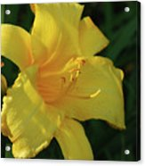 Gorgeous Flowering Yellow Daylily Blooming In A Garden Acrylic Print