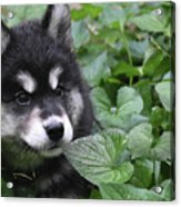 Gorgeous Fluffy Alusky Puppy Peaking Out Of Plants Acrylic Print