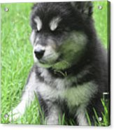 Gorgeous Fluffy Black And White Husky Puppy In Grass Acrylic Print