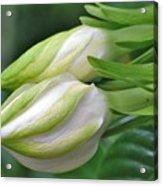 Best Buds Gorgeous Gardenia Flower Buds Acrylic Print