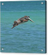 Gorgeous Grey Pelican With His Wings Extended In Flight  Acrylic Print