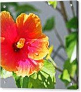Gorgeous Hibiscus Acrylic Print
