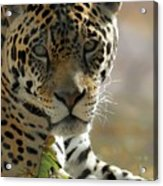 Gorgeous Jaguar Acrylic Print by Sabrina L Ryan