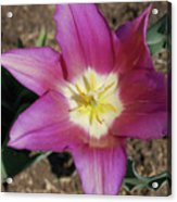 Gorgeous Light Purple Tulip With Yellow Stamen Acrylic Print