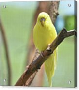 Gorgeous Little Yellow Parakeet Living In The Wild Acrylic Print