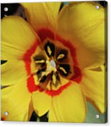 Gorgeous Look At The Center Of A Yellow Tulip Acrylic Print
