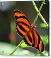Gorgeous Orange And Black Oak Tiger Butterfly Acrylic Print