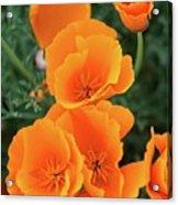Gorgeous Orange California Poppies Acrylic Print