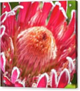 Gorgeous Pink Protea Bloom  Acrylic Print