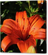 Gorgeous Pretty Orange Lily Flower Blooming In A Garden Acrylic Print