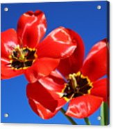 Gorgeous Red Tulips. Acrylic Print