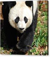 Gorgeous Sweet Giant Panda Bear Ambling Along Acrylic Print