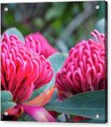 Gorgeous Waratah -floral Emblem Of New South Wales Acrylic Print
