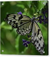 Gorgeous White Tree Nymph Butterfly With It's Wings Spread Acrylic Print