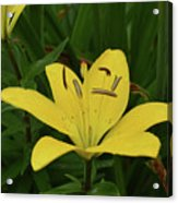 Gorgeous Yellow Lily Growing In Nature Up Close Acrylic Print