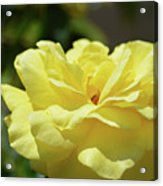 Gorgeous Yellow Rose Acrylic Print