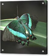 Gorgoeus Close Up Of This Emerald Swallowtail Butterfly  Acrylic Print