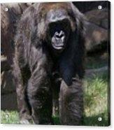 Gorilla 1 Acrylic Print
