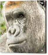 Gorilla - Como Zoo, St. Paul, Minnesota Acrylic Print